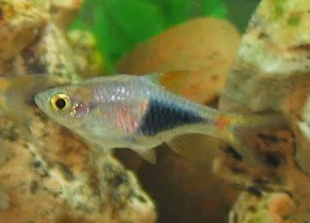 Akvaryum rasbora balığı hakkında bilgi