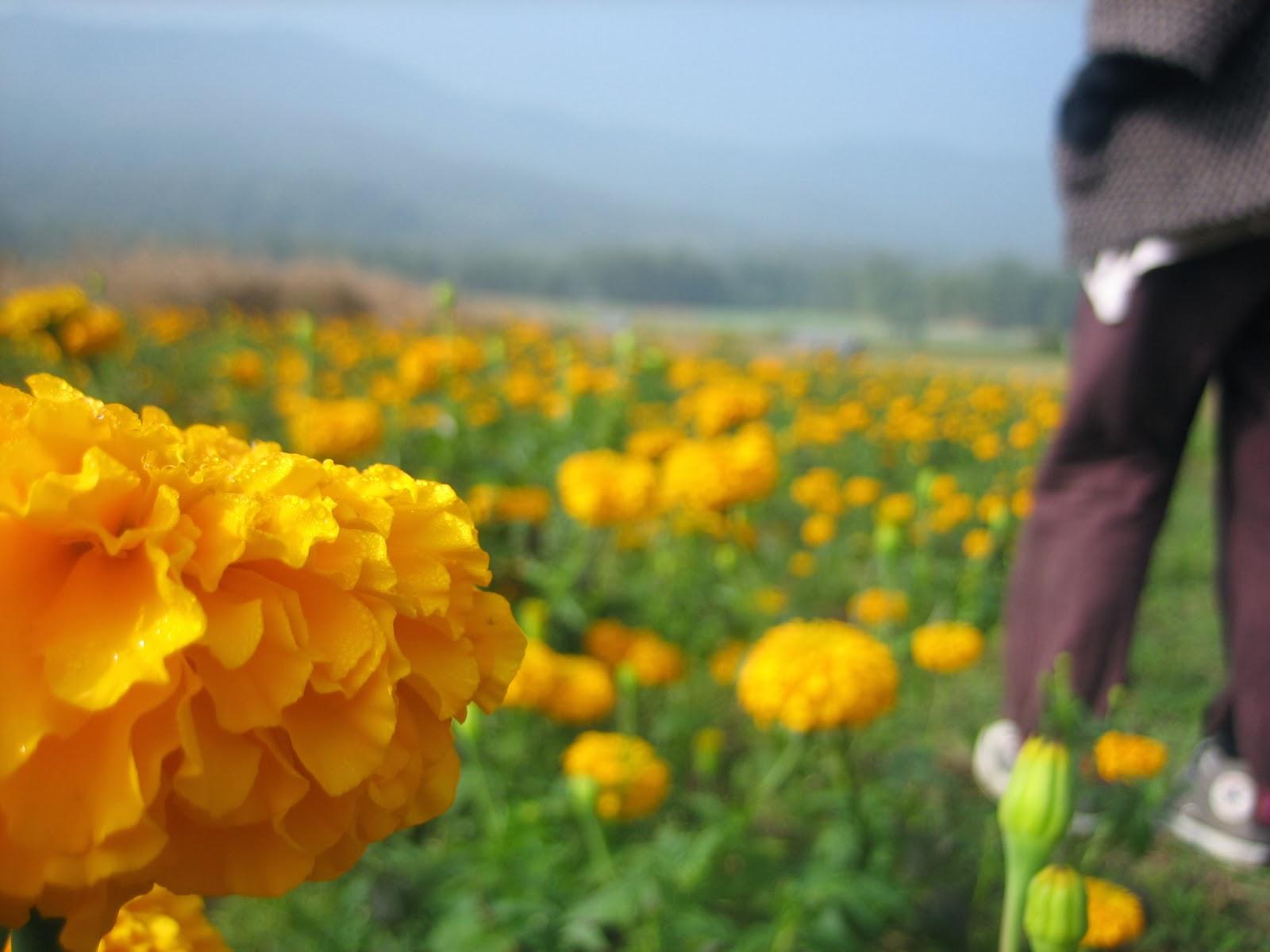 samoeng-thailand-north-flower-farm