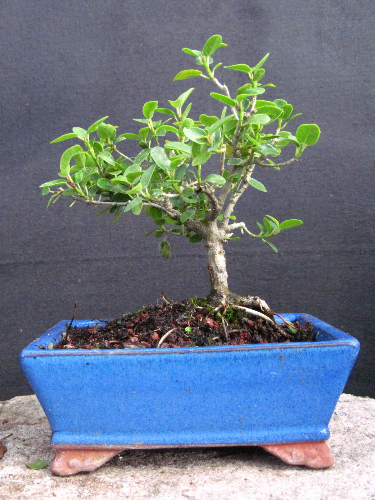 Bonsai Beginnings Ficus Burtt Davyi Quotnanaquot