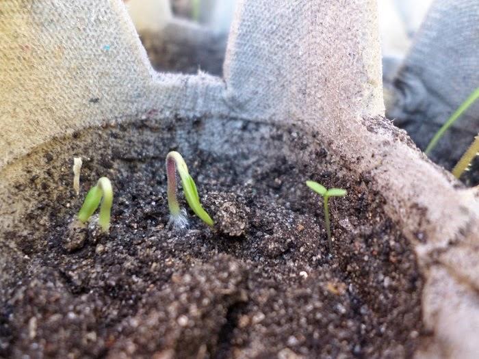 Como germinar semillas