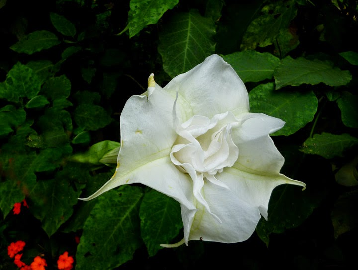 White angel trumpet brugmansia sl flora white angel trumpet brugmansia double white angel trumpet flower mightylinksfo
