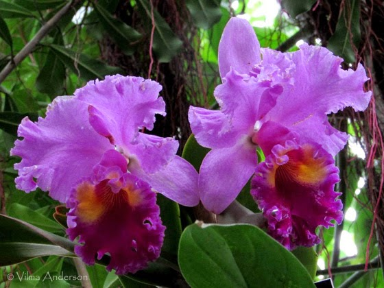 orchids flowers - purple color