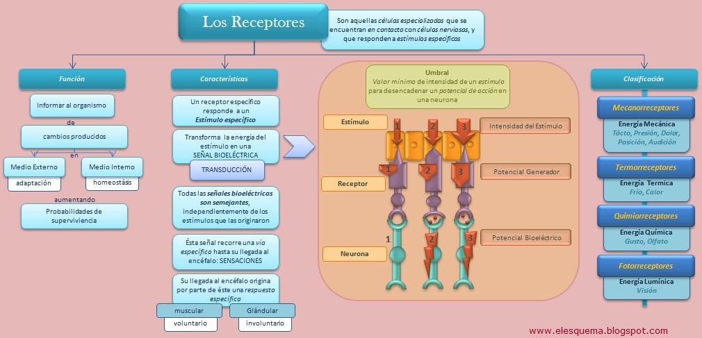 Los Receptores | Esquemas, diagramas, gráficos y mapas conceptuales.