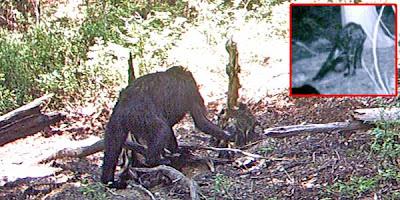 Foto Kemunculan Bigfoot Kembali Ramai Diinternet