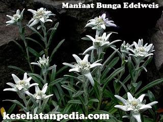 Manfaat Bunga Edelweis