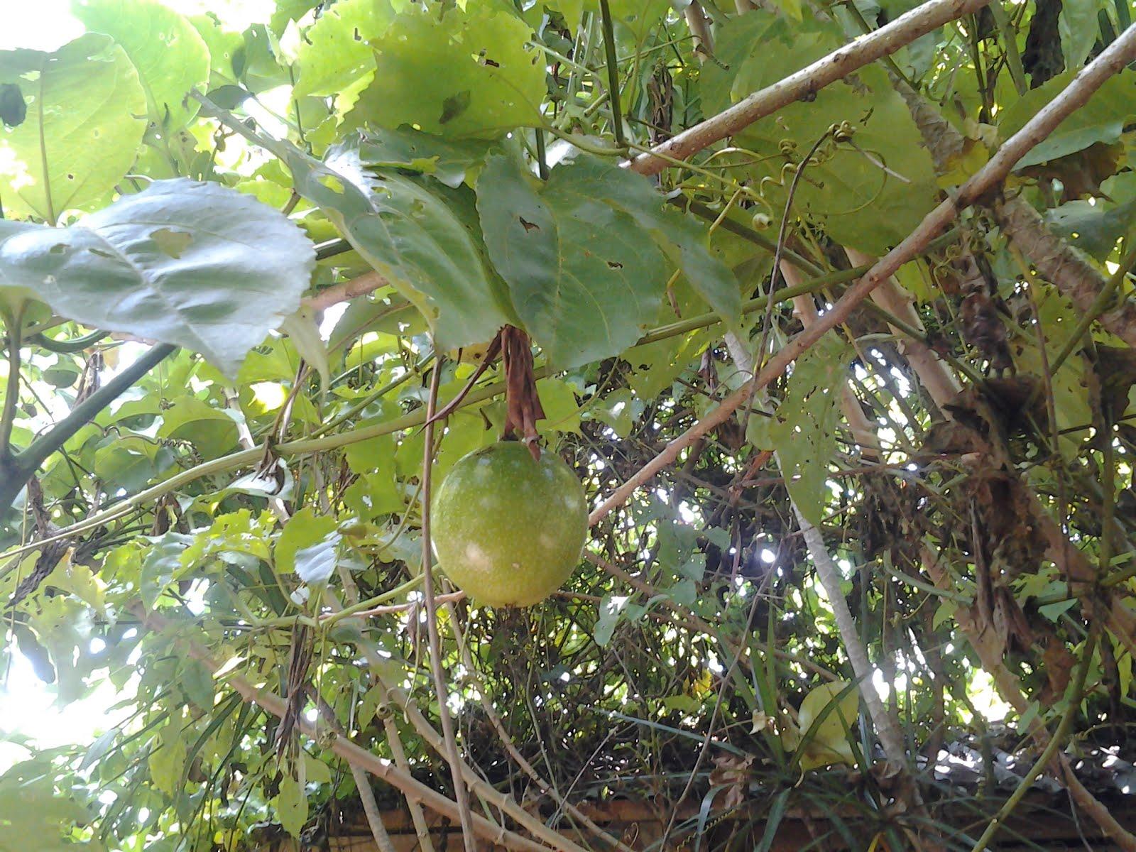 Passiflora Edulis Habitat Fruit Passiflora Edulis