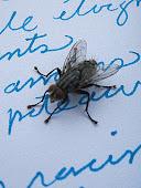 écritures de mouche