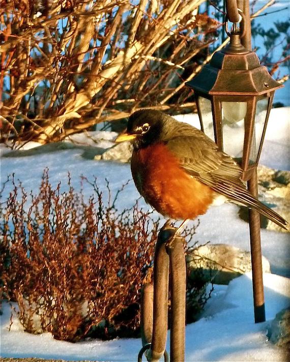 a fat robin