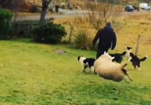 Lamb Thinks She is a Sheep Dog After Being Raised by Collies (Video)