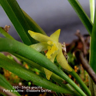 Octomeria gracilis  do blogdabeteorquideas