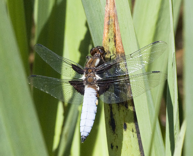 Dragonfly, the broad-bodied chaser, Libellua depressa.  Male.  At the pond in Spring Park, resting on reed mace, 25 May 2011.