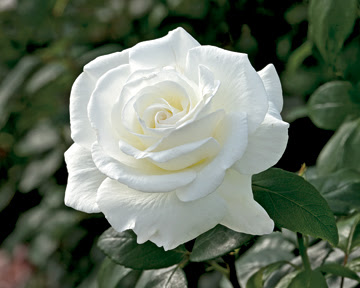 Sugar Moon rose