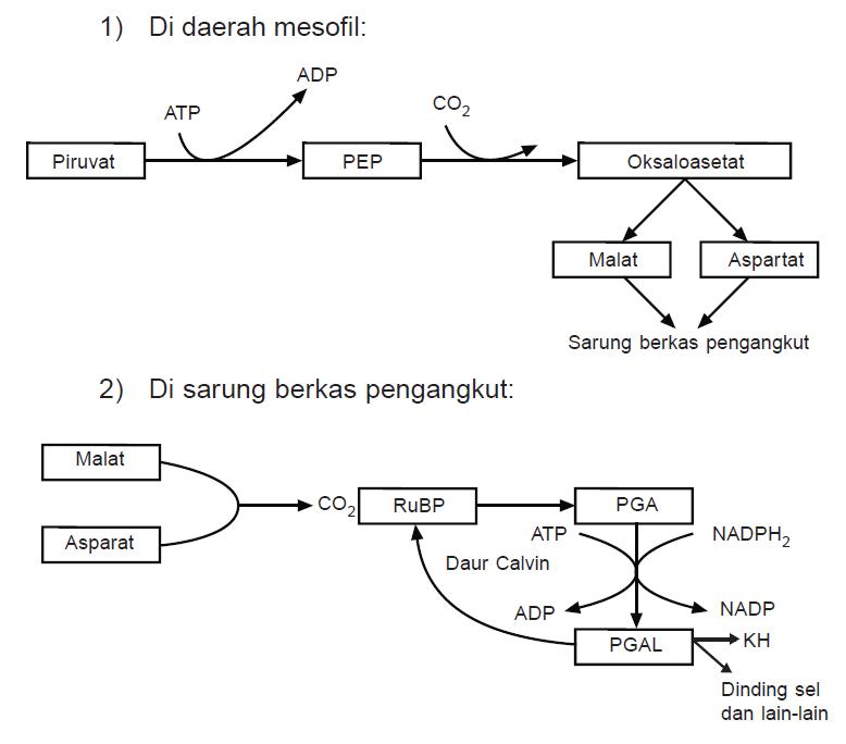 mekanisme reaksi biosintesis steroid
