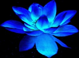 Blue+Lotus+flower flower allie