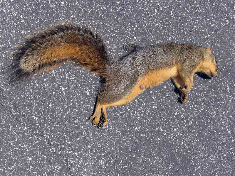 dead squirrel © David Ocker