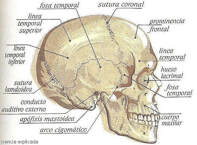 Huesos del craneo - Imagui