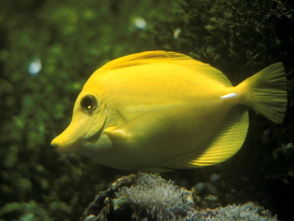 Almighty yellowphant for Yellow tail fish