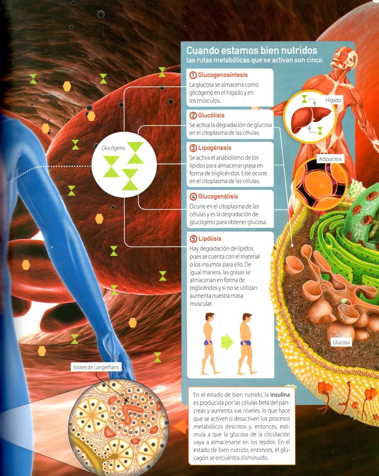 Gráfica complementaria sobre el metabolismo en el ser humano | LAS ...