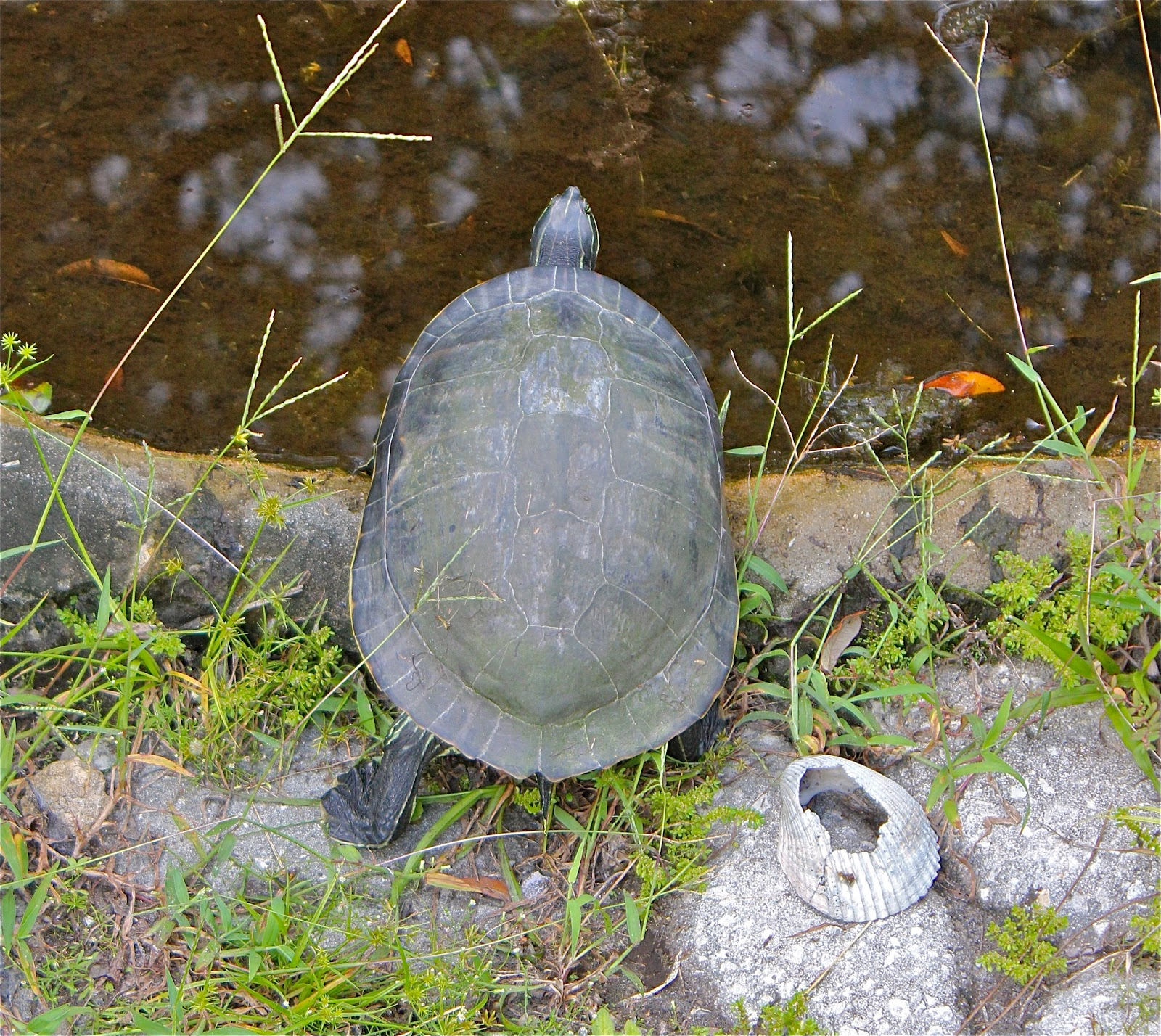 ... is the perfect safe, camouflaged habitat for semi-aquatic turtles