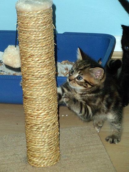 Tristan's tabby foster kitten