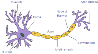 Image showing the structure of a typical neuron