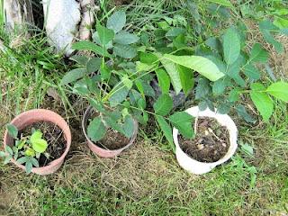 Καρυδιά: σπορά φύτεμα καλλιέργεια