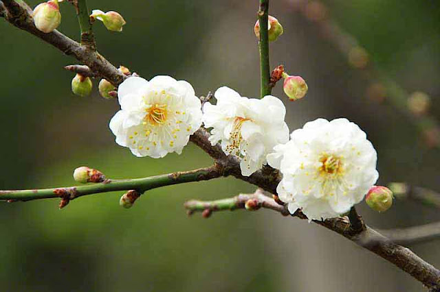 white, flowers, plum blossoms, buds, stems