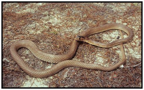 NonPoisonous Snakes Of Florida Phillips Natural World - Poisonous snakes in mississippi