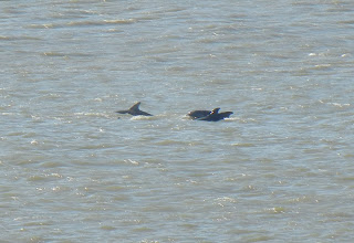 Dolphins playing in the water alongside the Bolivar ferry.