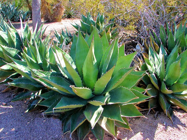 Benefits Of Century Plant (Agave Americana) For Health