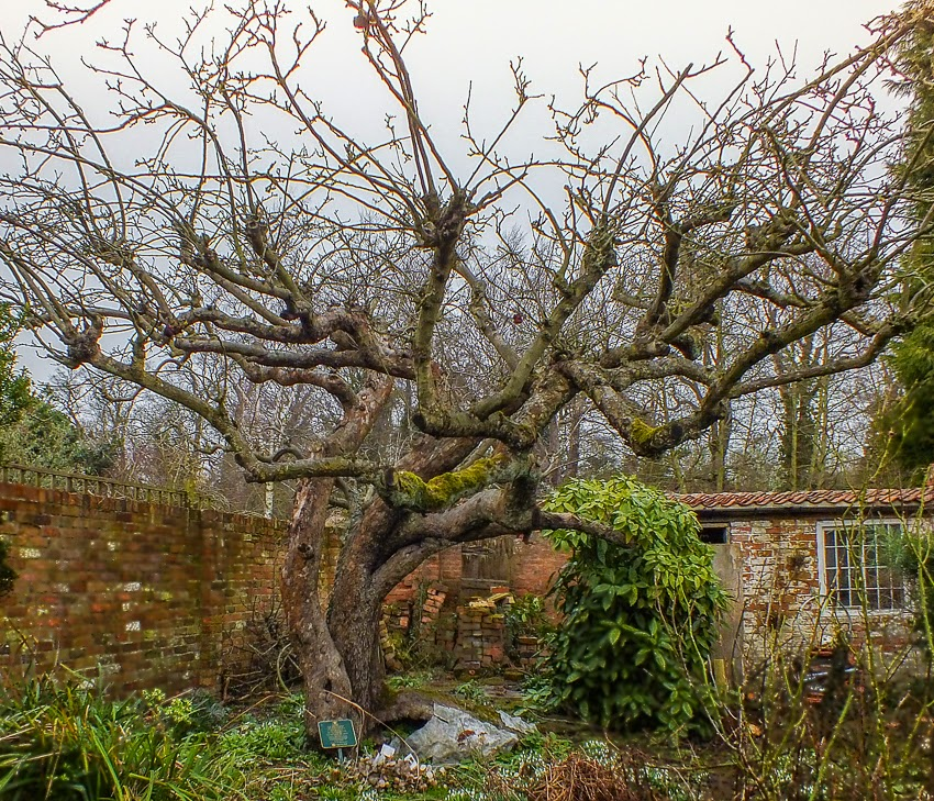 The Original Bramley Apple Tree