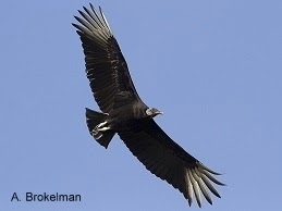 Black Vulture (coming soon!)
