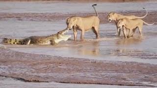 Драка: Львы против крокодила