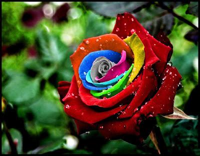 Rosa perfumada con frescas gotas de rocío
