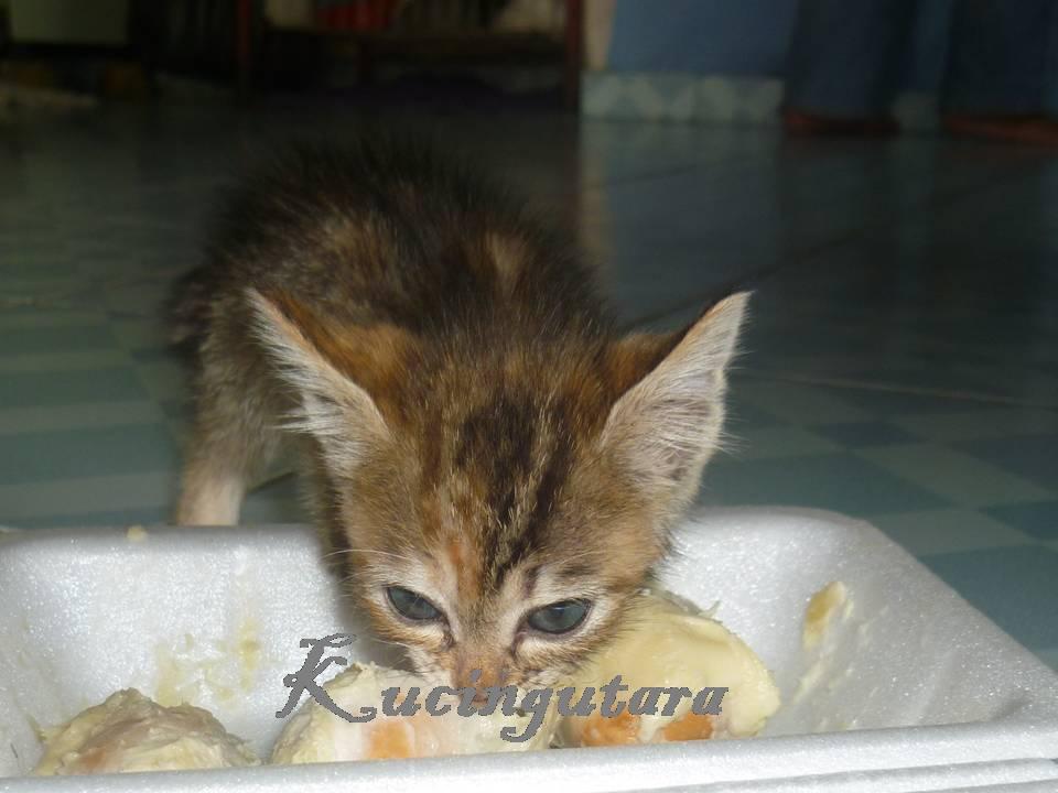 Kucing Utara Kucing Makan Durian