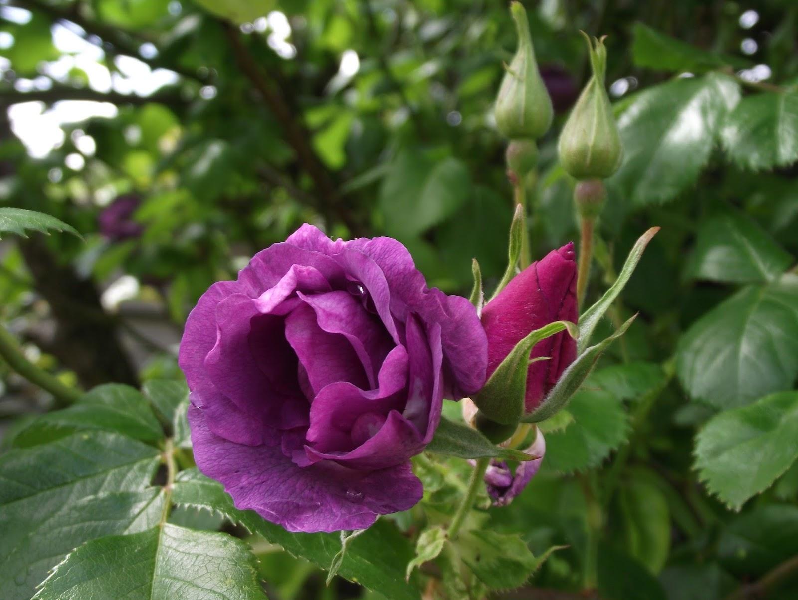 Promesse de roses rhapsody in blue - Taille rosier liane ...