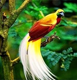 Bird Of Paradise Burung Cenrawsih Keindahan Wallpaper Papua Indonesia