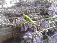 mantis en lavanda