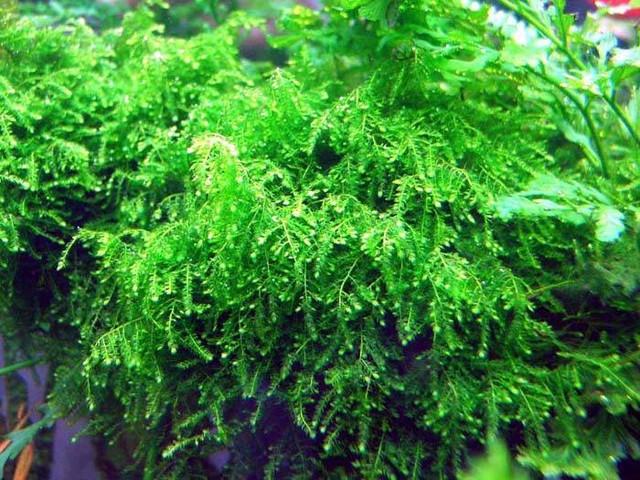 ... Sale Flora Aquatica - Freshwater Aquarium Plants for Planted Tanks