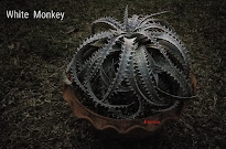 Dyckia White Monkey