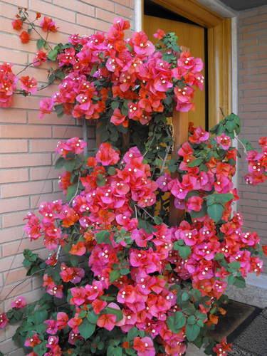 Piante e fiori la buganvilla for Terrazzi con piante e fiori