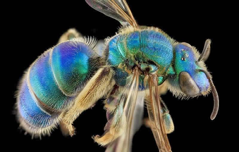صورة نحلة