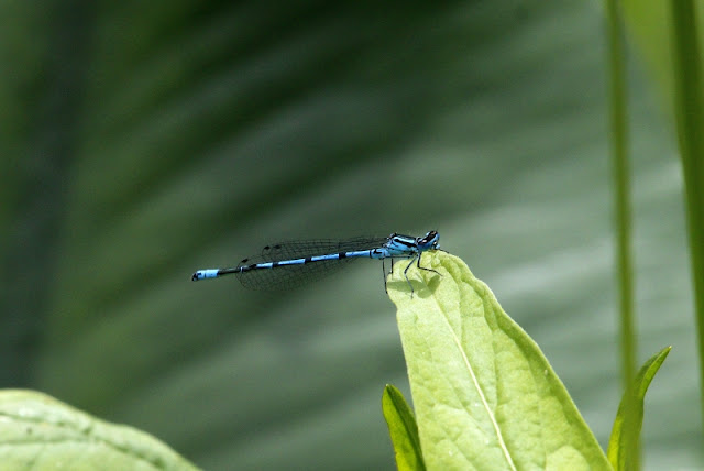 Azure Damselfly Southern Germany