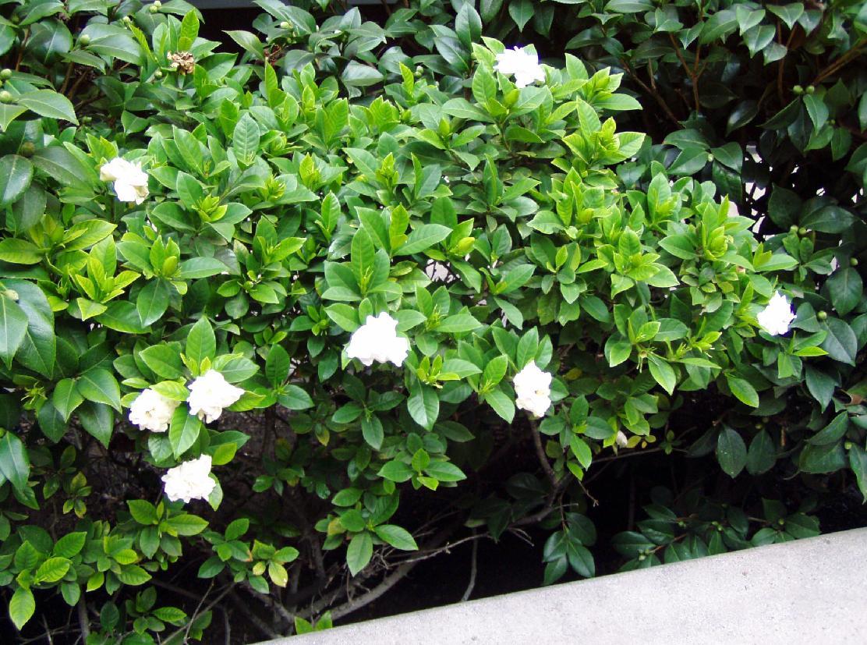 gardenia-tree