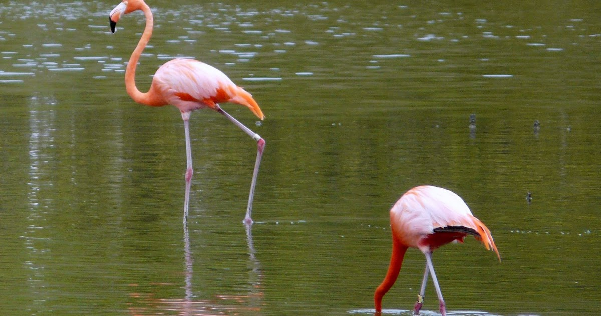 Funny Pictures Gallery: Flamingo birds, flamingo pictures ... - photo#19