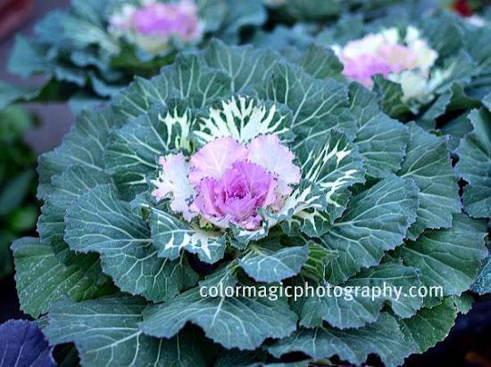 Ornamental abbage-Flowering Kale-Brassica oleracea