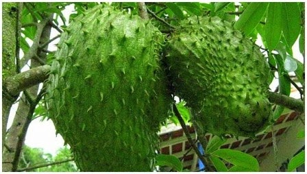 6 Incredible Benefits of Soursop Fruit for Health