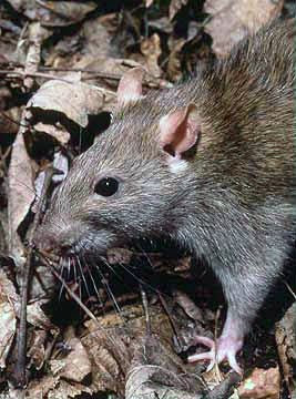 6 Rats 10 of the Most Common, Weird and Creepy Animals as Pets