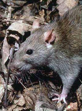 6 Rats %Category Photo