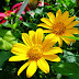 Đà Lạt rực vàng mùa hoa dã quỳ